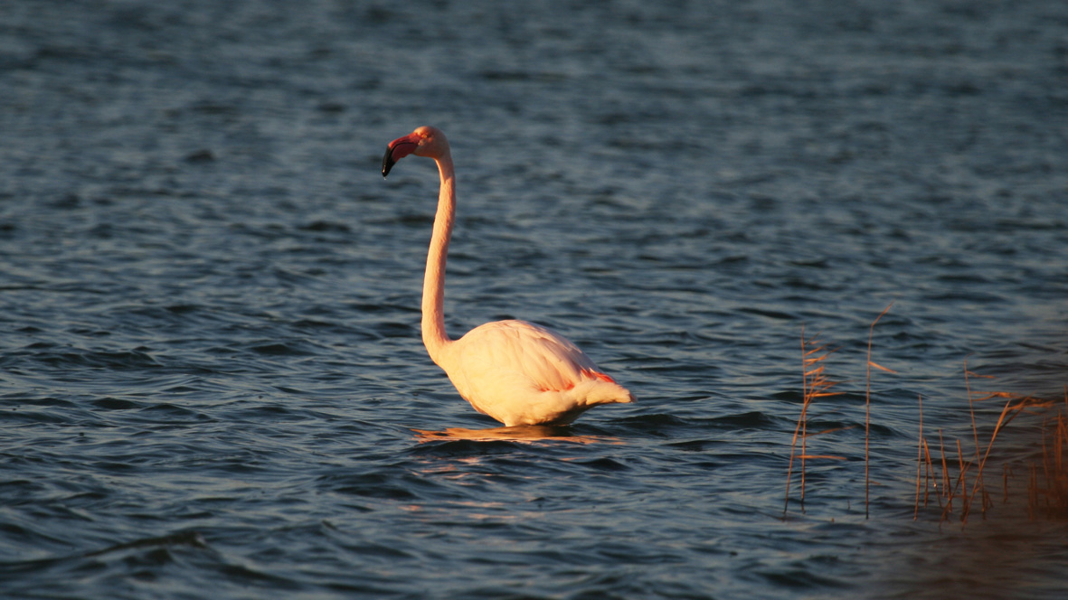 Le_Flamand_rose_-_©_Christophe-Ourtal