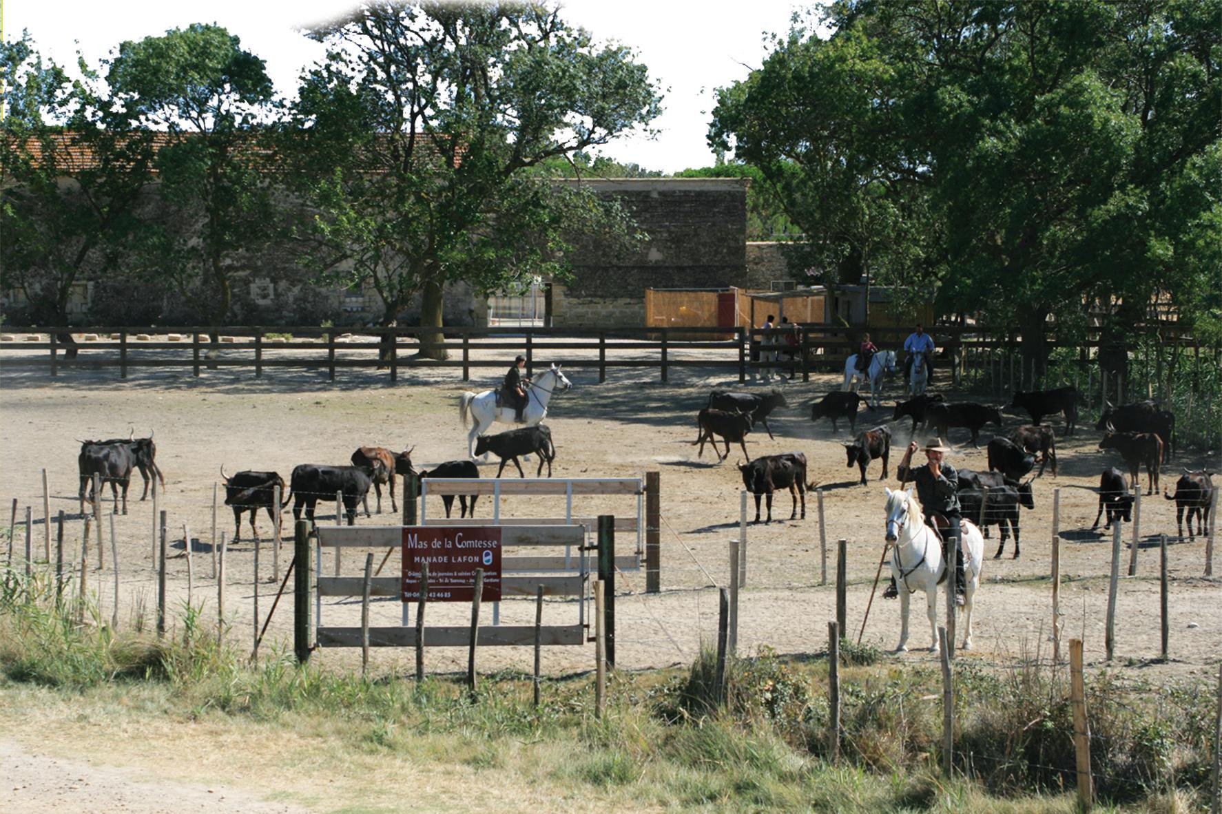 le tri des taureaux