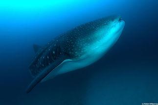 galapagos whale shark.jpeg