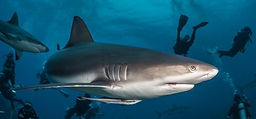 Shark-Dive-1-498x232.jpg