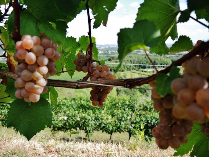 Settembre settembrino,_matura l'uva e si