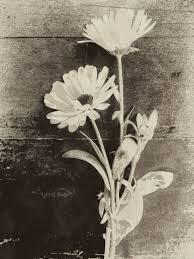 fleur noiretblanc.jpg