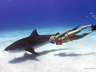 """""""Shark Whisperer"""" IndieGoGo campaign"""
