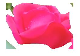 2019_02_17_01_56.34_Rose_Macro Floral Photography_by Anastasia V. Silva_The New Romantic Renaissance (by AVS)