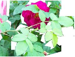 9160 (2.2)_2_Rose Vine Wrist Articulation_Clip art_Bridal_Accessories_by Anastasia V. SIlva_The New Romantic Renaissance_(by AVS)
