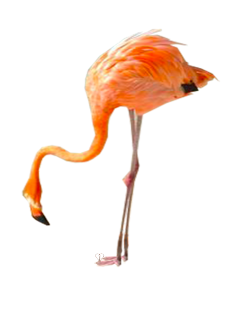 Pink flamingo_Photo credit: Jenny McIver_ESPN_Aruba_Beach_Birds_Travel_Photo edited_by Anastasia V. Silva_The New Romantic Renaissance_(by AVS)
