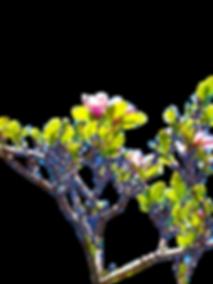 3038 (1)_Pink Magnolia Tree_Flowers_Spring_Summer_Seasons_Photography by Anastasia V. Silva_The New Romantic Renaissance_(by AVS)