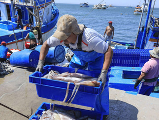 Ministerio de la Producción establece cuota de pesca de pota en 580,000 toneladas