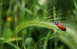 spiga-di-grano-con-insetto