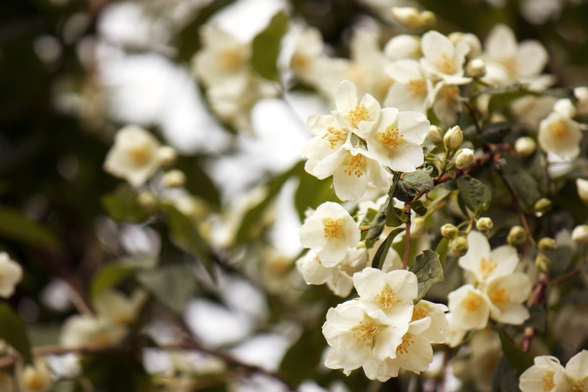 rosa-canina-fiori-bianchi-natura
