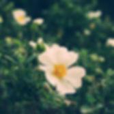 rosa canina fiore