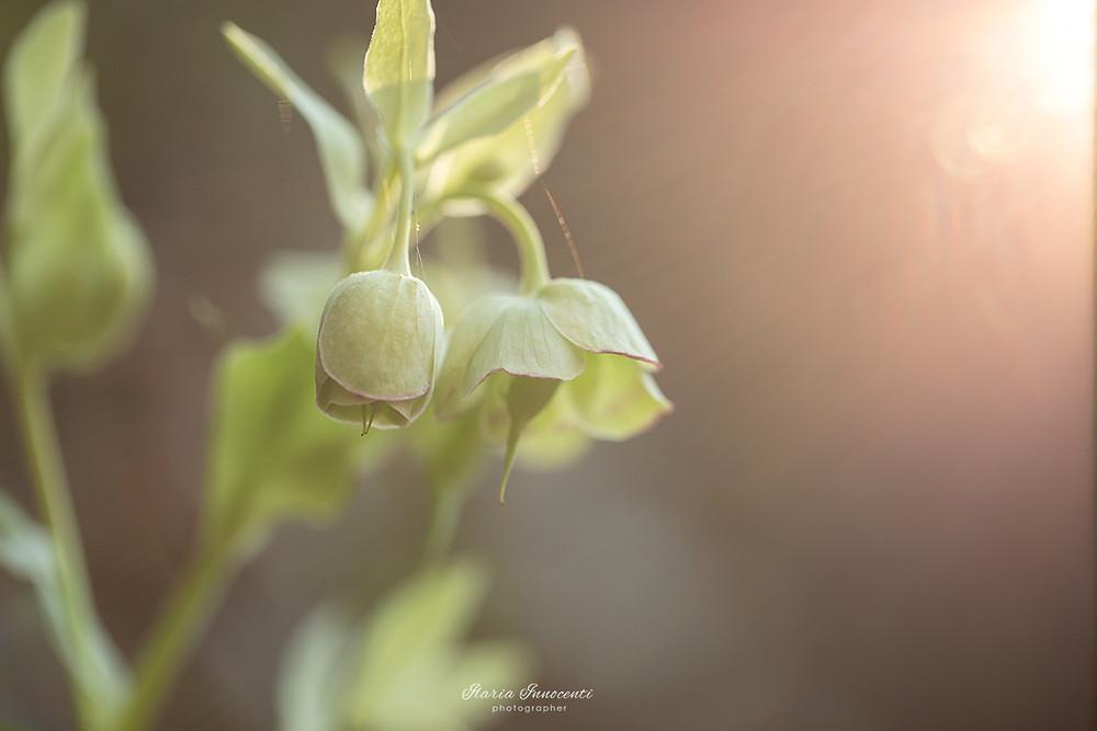 Helleborus foetidus