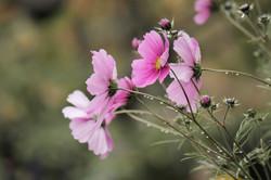 fiori-rosa-con-gocce-di-pioggia