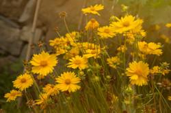 fiori-gialli-estate-campo