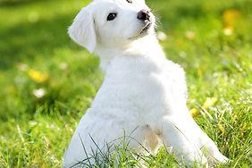 cane bianco su prato