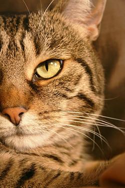 gatto-tigrato-muso-servizio-fotografico-animale-domestico-micio