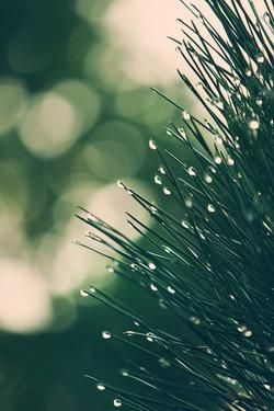 dettaglio-di-pino-con-gocce-di-pioggia