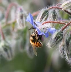 ape-su-fiore-di-borraggine