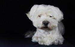 cane-bianco-servizio-fotografico-in-studio-cagnolino