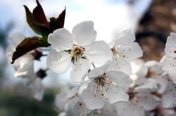 fiori-di-ciliegio-su-albero