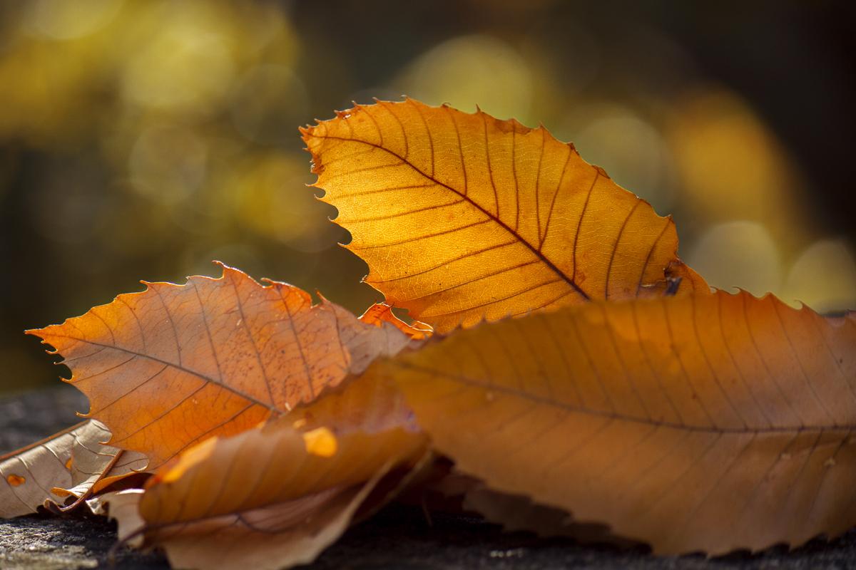foglie-arancioni-castagno-autunno