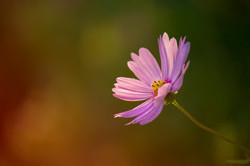 fiore-rosa-natura-margherita