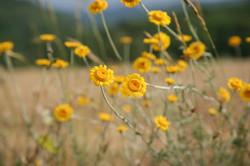 fiori-gialli-in-un-campo
