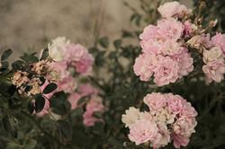 roselline-rosa-pianta