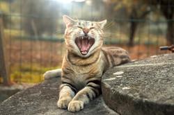 gatto-domestico-animale-servizo-fotografico-sbadiglio-sonno