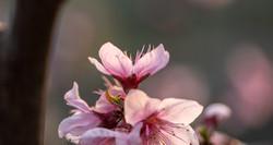 fiori-di-ciliegio