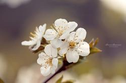 fiori-di-ciliegio-macro