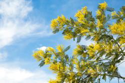 mimosa-pianta-cielo-azzurro-marzo