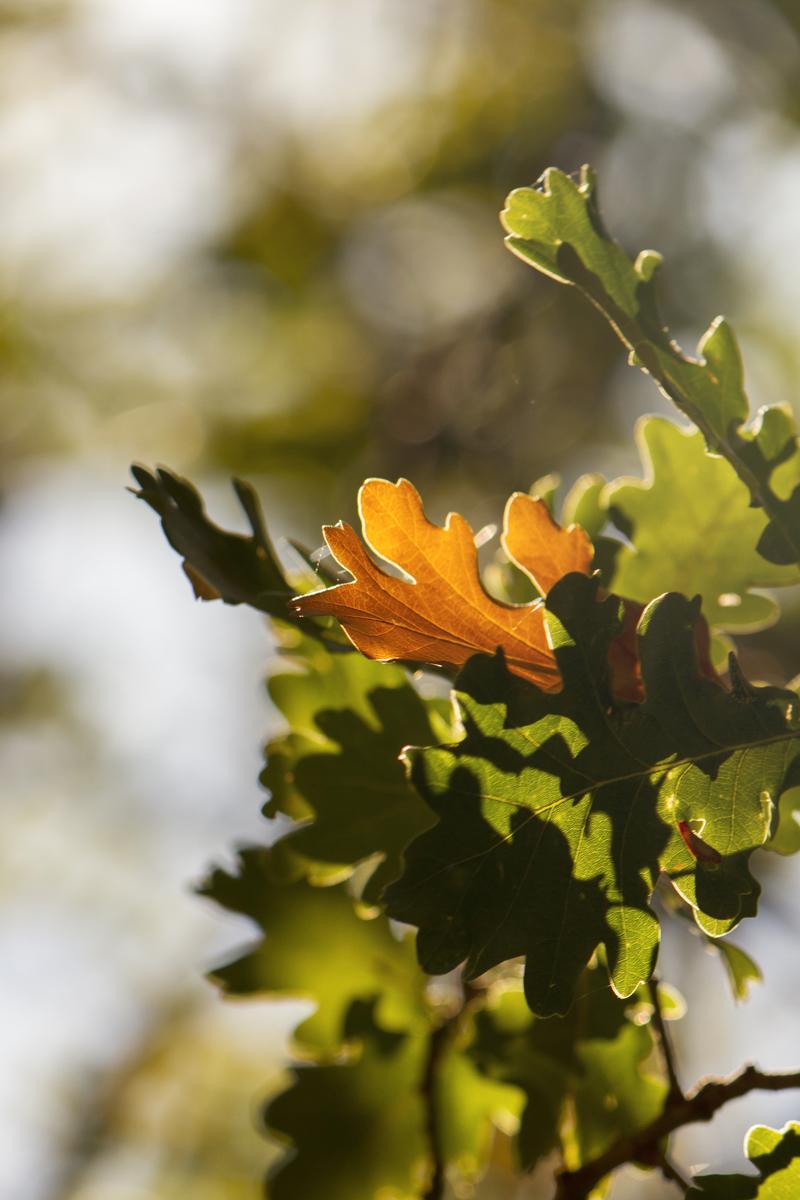 quercia-foglie-autunno