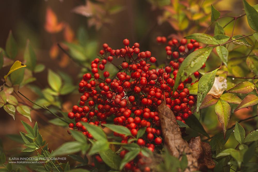 Bacche rosse di Nandina