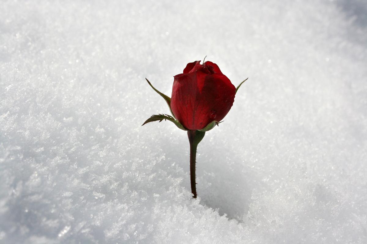 rosa-rossa-nella-neve