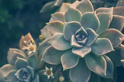 pianta-grassa-grigia
