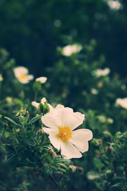 rosa-canina-bianca