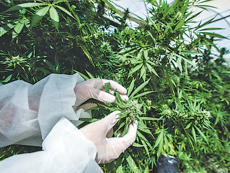Conozca lo relevante sobre las licencias para el cultivo de cannabis no psicoactivo o cáñamo