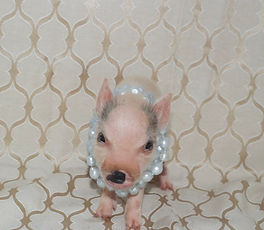 Teacup piglets for sale, Mini pigs for sale, pet pig, miniature pigs for sale, pet piglet, miiatre pig, pet pigs for sale, teacup pig for sale, teacup pig, pig pet