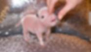 Teacup piglet for sale north carolina