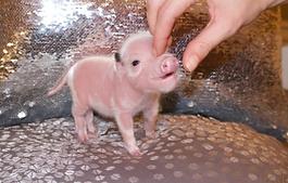 mini pigs for sale, teacup pigs for sale, pet pig, miniature pigs for sale, pet piglet, pig pet, teacup pig, teacup pig for sale, miniature pig