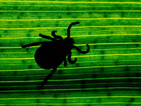 Mayo Researchers Found A New Bacteria Causing Lyme Disease: Borrelia Mayonii