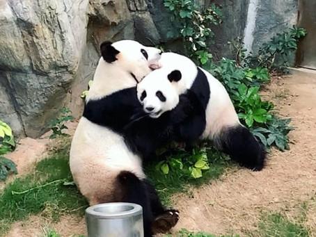Jour 24 - Un froid de canard, deux chauds pandas