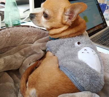 Le chihuahua : l'ami(niature) de bureau