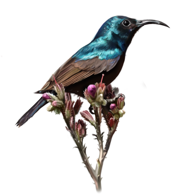 palestinian sunbird.png