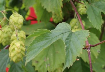 Cerveceros lanzan Nodo en el marco de la segunda cosecha de lúpulo realizada en la región.