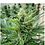 Thumbnail: Sweetgrass x Cherrywine (feminized)