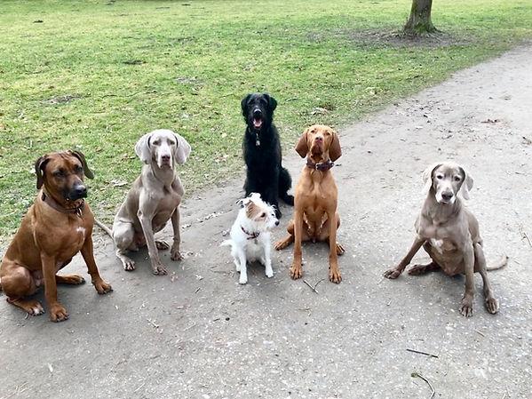 Ridgeback Weimaraner Jack Russell Magyar Vizsla Labradoodle Hunde