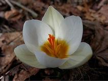 lotus crocus by Sharon Paddock, Thai Yoga Bodyworker at Yoga Wellness Bodywork, Gardiner, NY.jpg