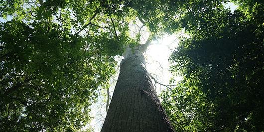 bosque de ceibas